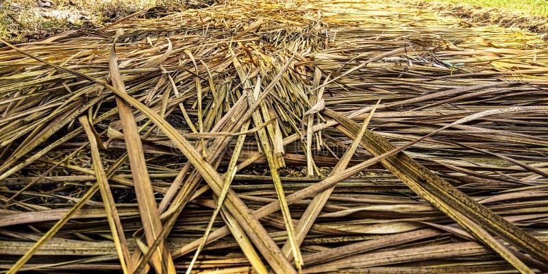 Sugrör som täcker ris arkivfoton