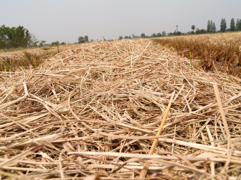 Sugröret som är torrt i fältet arkivbild