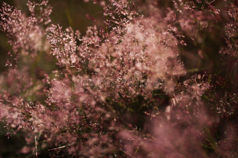 Sugrörgräs royaltyfria bilder
