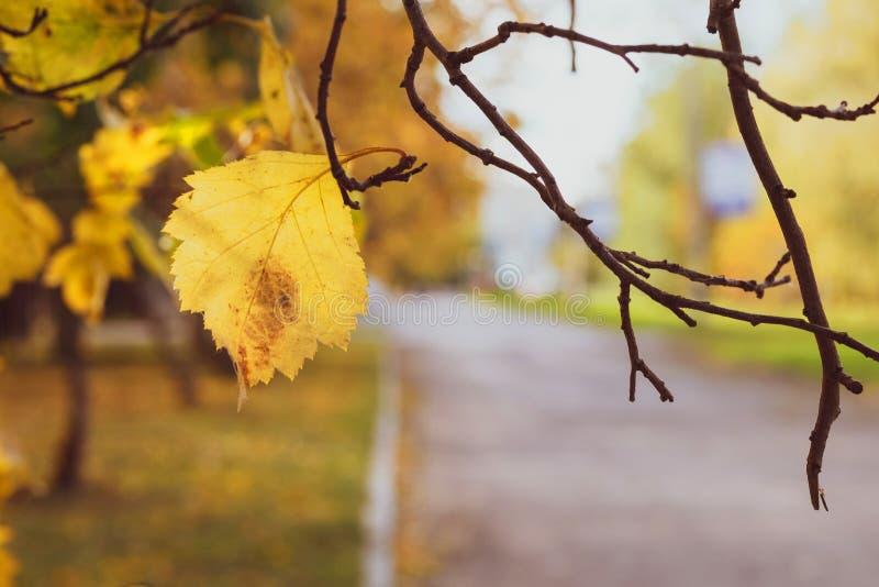 Sui precedenti vaghi del marciapiede che appende su un ramo di una foglia gialla sola di autunno immagini stock