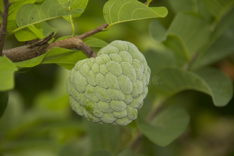 Suiker-Apple Vruchten jong srikaya buah srikaya stock fotografie