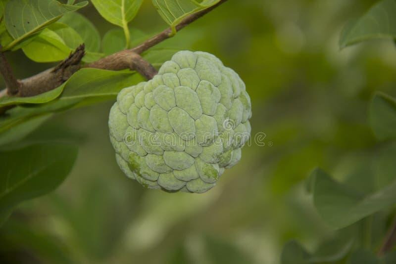 Suiker-Apple Vruchten jong srikaya buah srikaya stock afbeeldingen