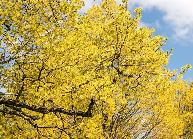 Suikerahornboom stock afbeelding