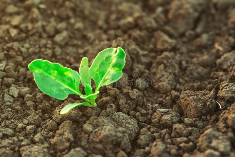 Suikerbietspruit het groeien op gecultiveerd landbouwgebied royalty-vrije stock afbeeldingen