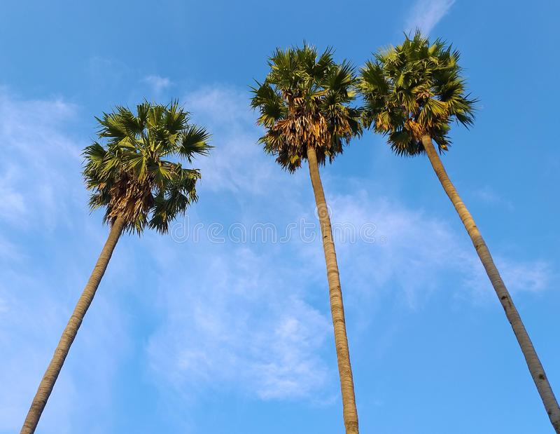 Suikerpalm suikerpalm en blauwe hemel royalty-vrije stock afbeeldingen
