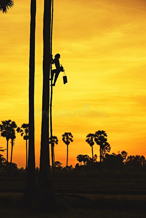 Suikerpalm, Mens met carrière die palmsuiker beklimmen bij zonsondergang stock afbeeldingen