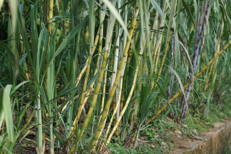 suikerriet stock foto's