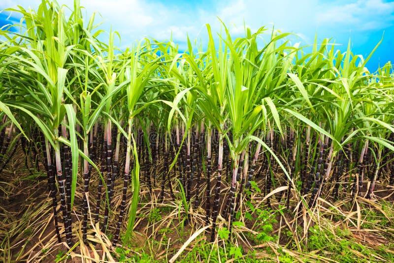 Suikerriet royalty-vrije stock foto's
