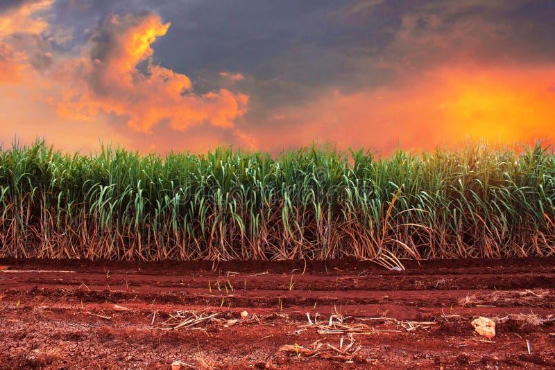 Suikerriet met de gouden hemel stock foto's