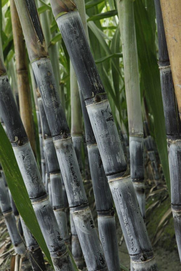 Suikerriet, Saccharum, Saccharum sinense, Ganzhe stock afbeelding
