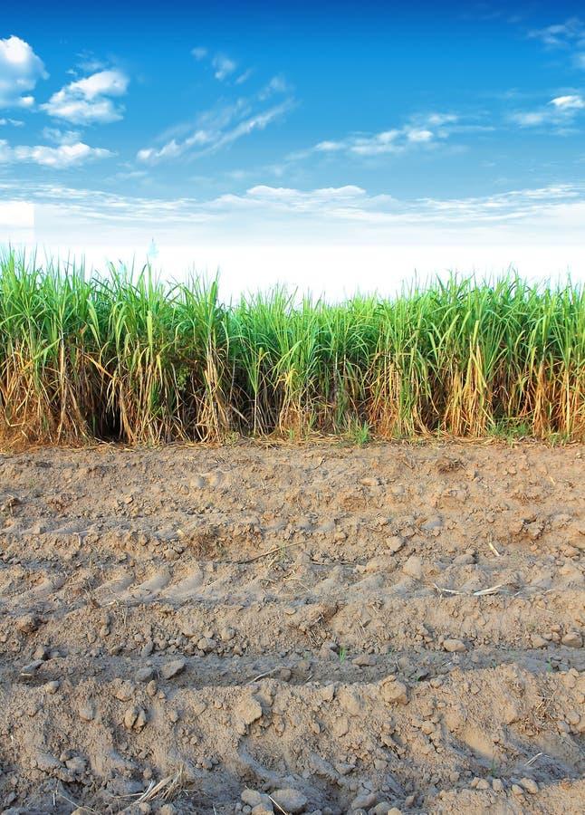 Suikerriet in Thailand stock fotografie