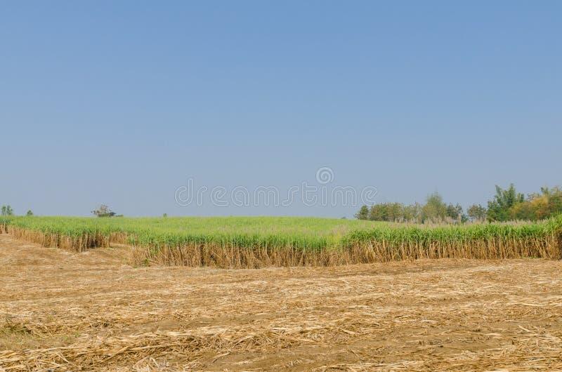 Suikerrietaanplanting royalty-vrije stock afbeelding