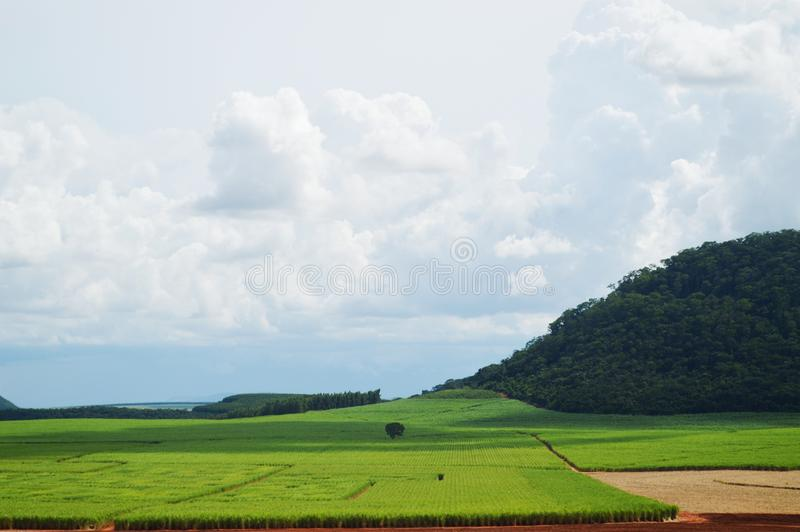 Suikerrietaanplanting stock foto's