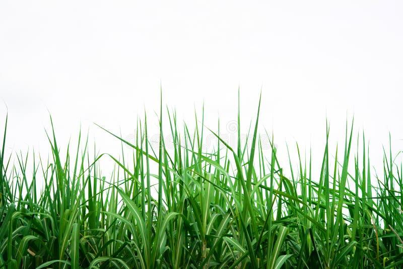 Suikerrietachtergrond stock foto