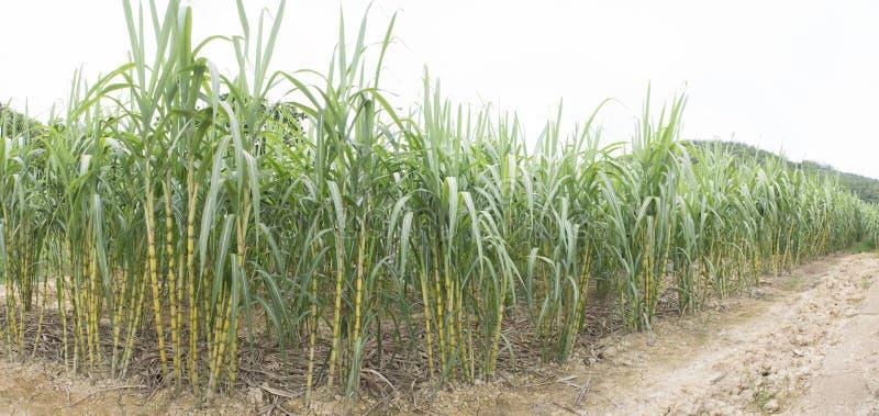 Suikerrietgebied royalty-vrije stock foto's