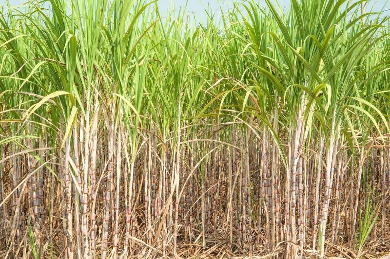 Suikerrietinstallaties royalty-vrije stock foto's