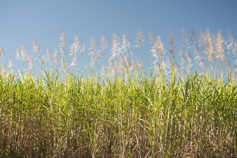 Suikerrietriet die op een landbouwgebied groeien stock foto's