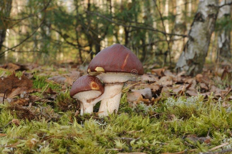 Suillus luteus Pilz mit Bäumen des Waldes im Hintergrund stockfotografie