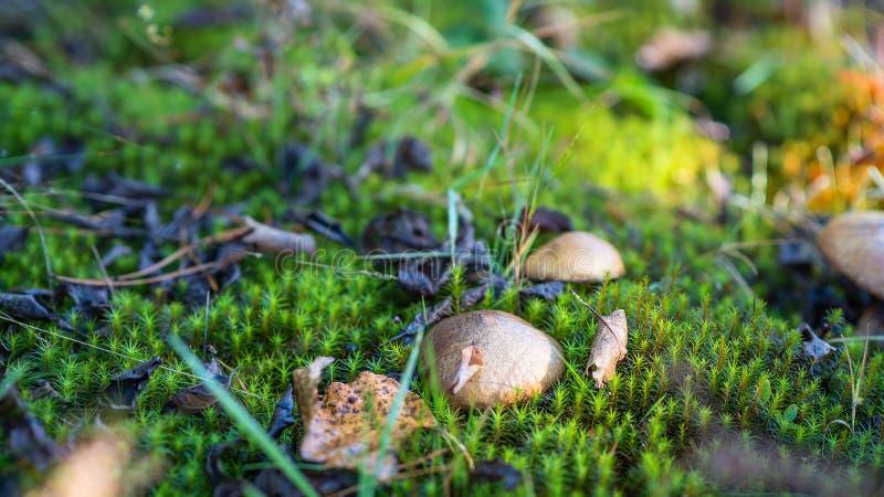 Suillusluteusen växer i grön mossa Höst Time fotografering för bildbyråer