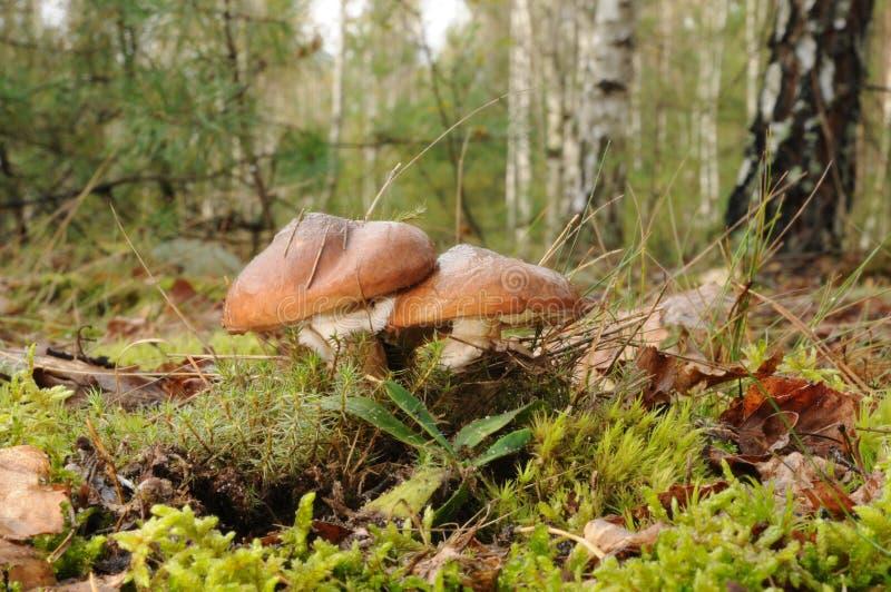 Suillusluteussvamp med skogträd i bakgrunden royaltyfri bild