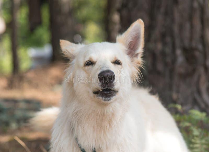 Suisse f?r blanc f?r hundavelChien berger i sommarskog som hunden tjuter och sk?ller royaltyfri bild