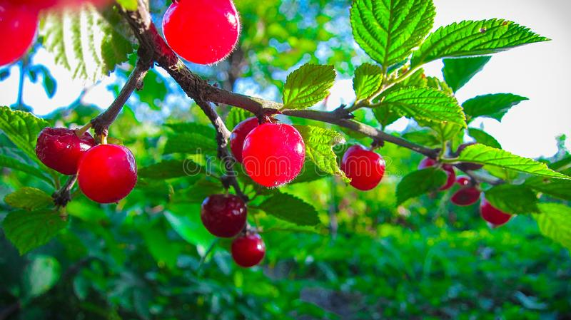 The bright red berries Chines Cherry are hanging in the garden on a branch with beautiful green leaves under the warm summer su stock photography
