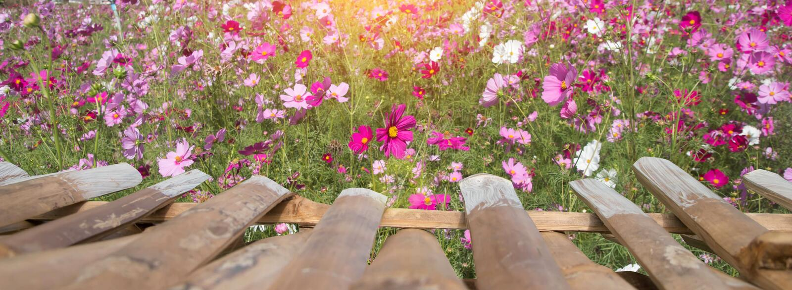 Cosmos Flowers with sunlight royalty free stock image