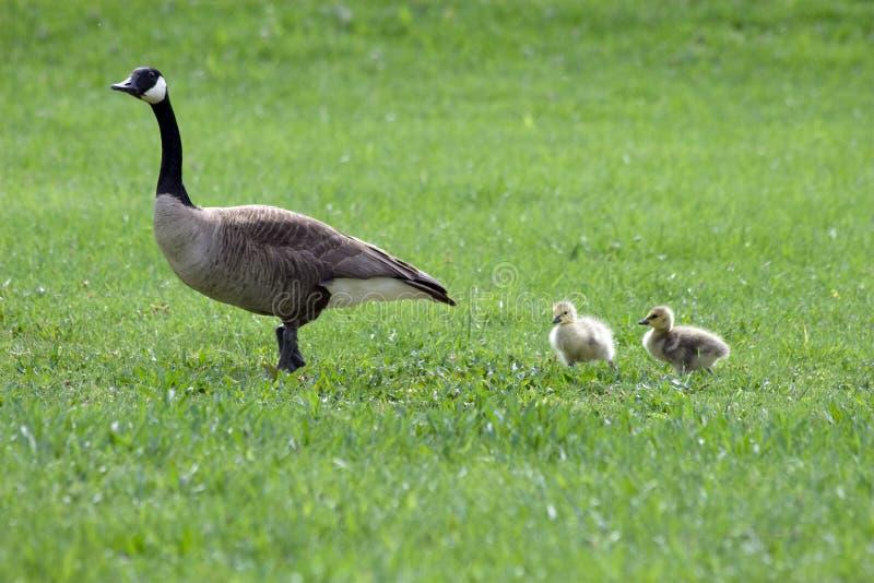 Suivez la maman photos libres de droits