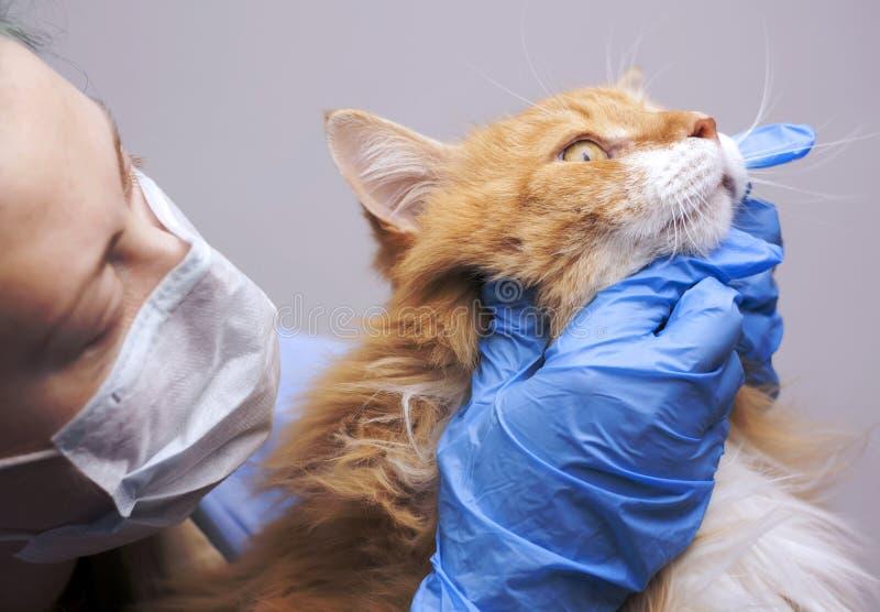 Sujet de science vétérinaire : le vétérinaire examine un chat photographie stock libre de droits