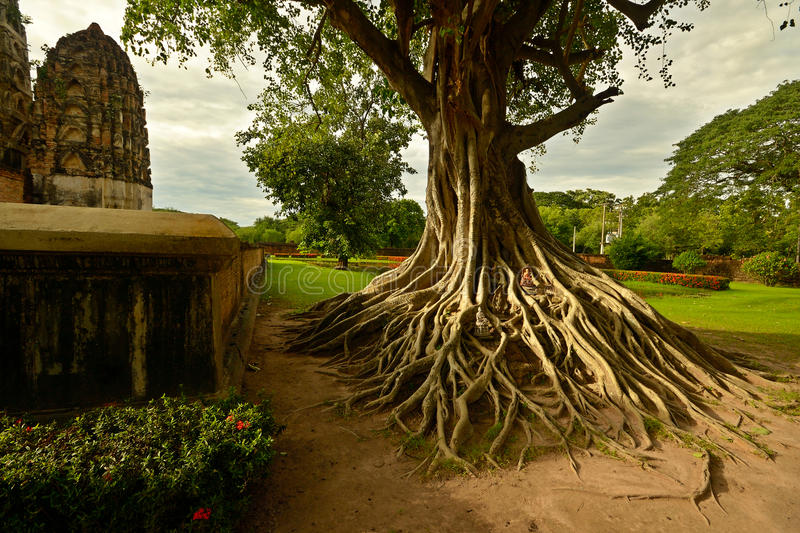 Sukhothai temples. Braided roots of large banyan tree at Wat Si Sawai in Sukhothai Historical Park, Central Thailand royalty free stock photo