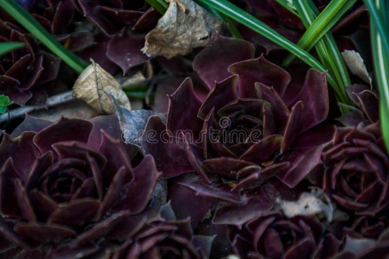 Sukulenty claret kolor r w ogr?dzie r??nego rozmiar rose kamie? kaktus Dom ro?liny Natura t?o lub tekstura obrazy royalty free