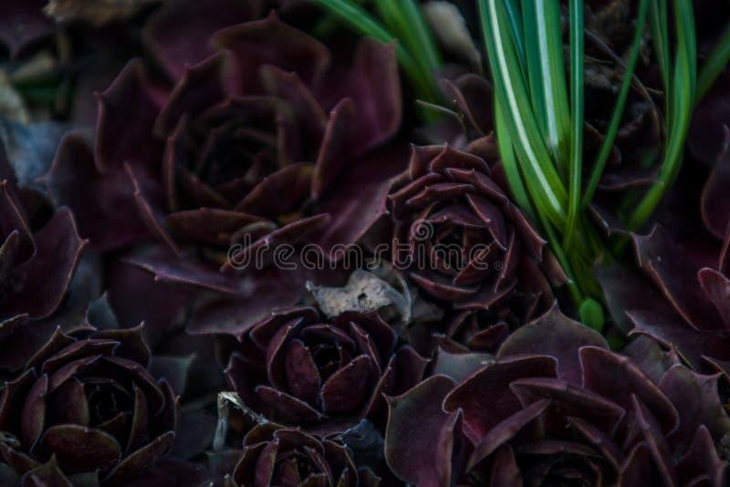 Sukulenty claret kolor r w ogr?dzie r??nego rozmiar rose kamie? kaktus Dom ro?liny Natura t?o lub tekstura zdjęcia royalty free