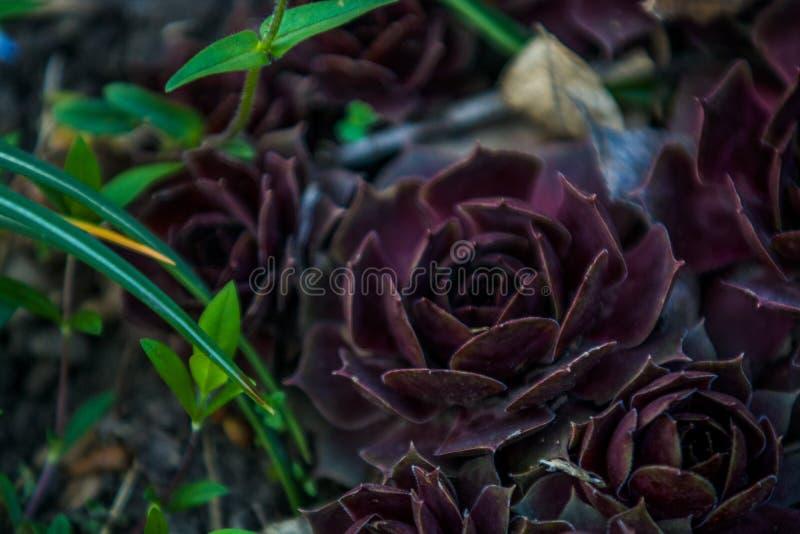 Sukulenty claret kolor r w ogr?dzie r??nego rozmiar rose kamie? kaktus Dom ro?liny Natura t?o lub tekstura obraz stock