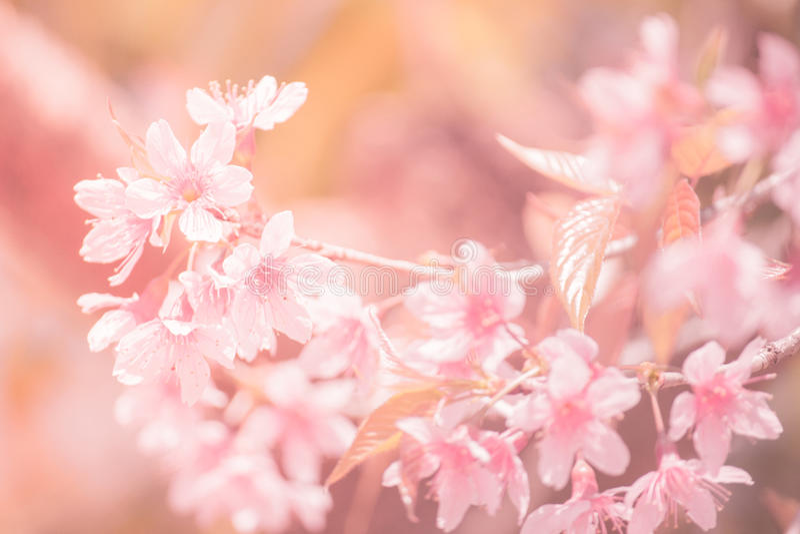 Sukura tła Czereśniowego okwitnięcia kwiaty na wiosna sezonie i Miękkiego ostrość procesu Pastelowym brzmieniu fotografia stock