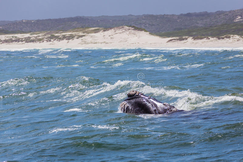 Sul - baleia direita africana foto de stock