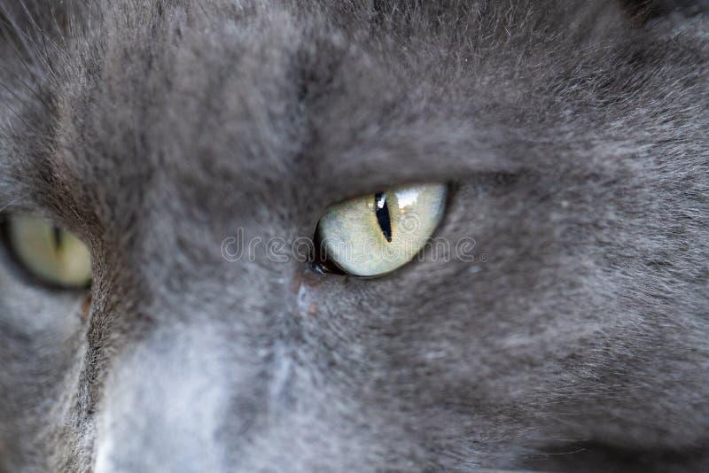 Sul colpo vicino dell'occhio di gatto grigio fotografia stock
