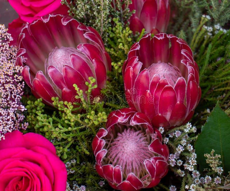 Sul cor-de-rosa - proteas e rosas africanos foto de stock
