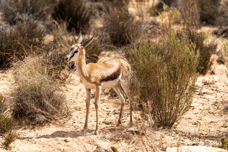 Sul - gazela africana imagem de stock royalty free