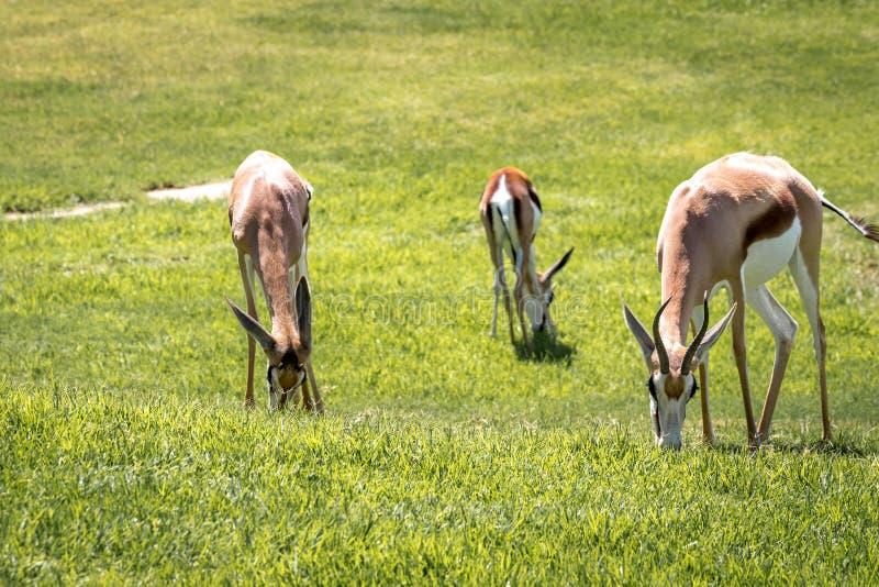 Sul - gazela africana que pasta em um pasto/campo verdes imagem de stock