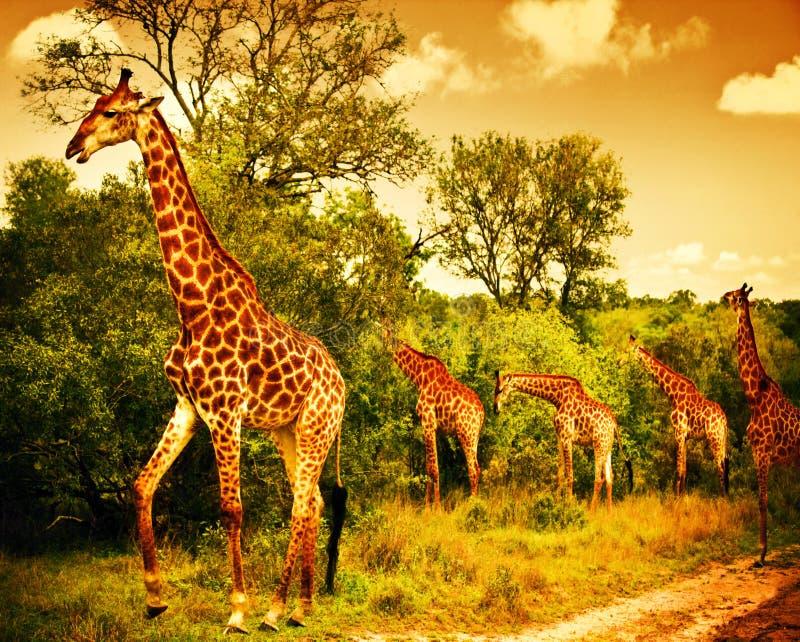 Sul - giraffes africanos fotografia de stock royalty free