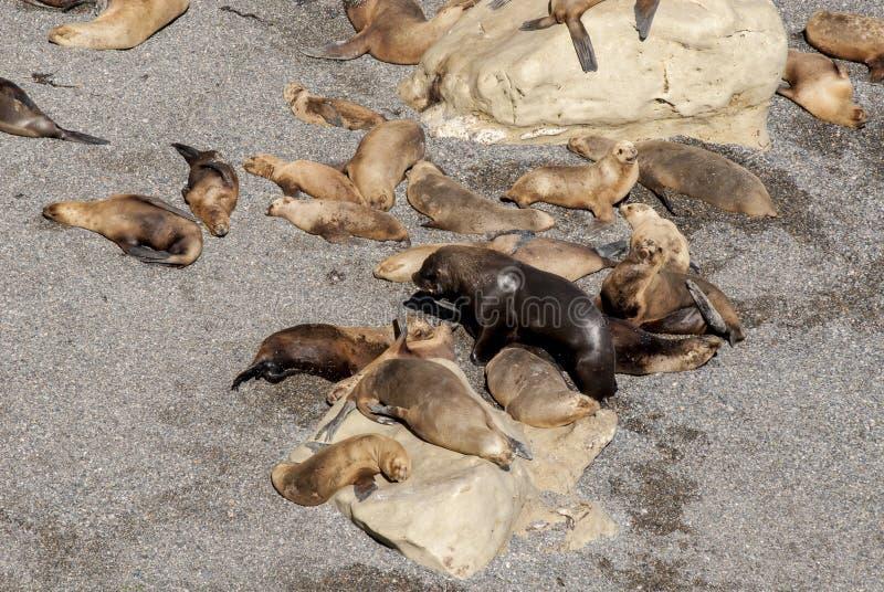 Sul - leões de mar americanos preguiçosos em The Sun fotos de stock royalty free