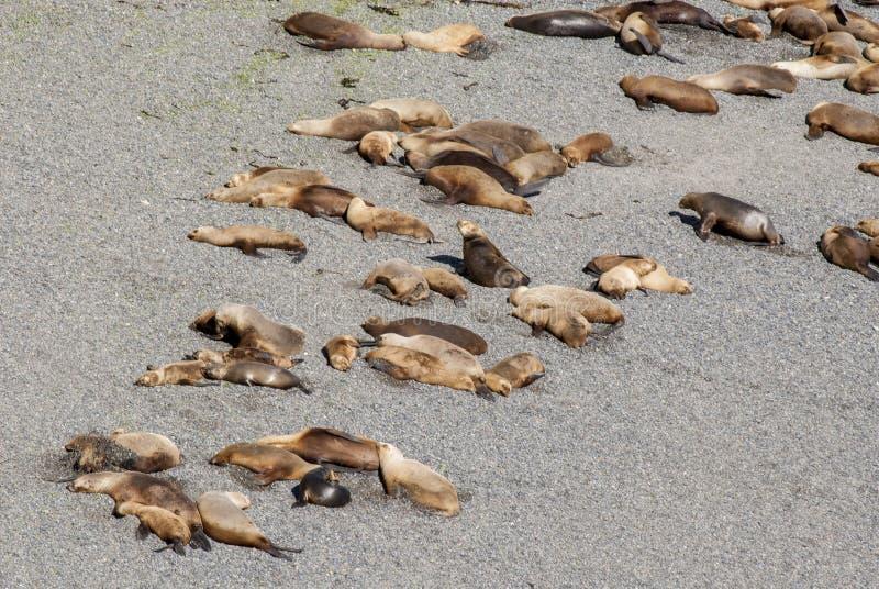 Sul - leões de mar americanos preguiçosos em The Sun imagem de stock