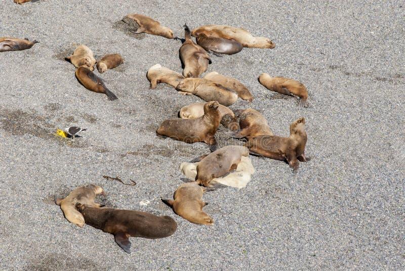 Sul - leões de mar americanos preguiçosos em The Sun imagens de stock