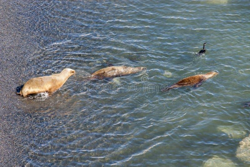 Sul - leões de mar americanos que vão nadar fotos de stock