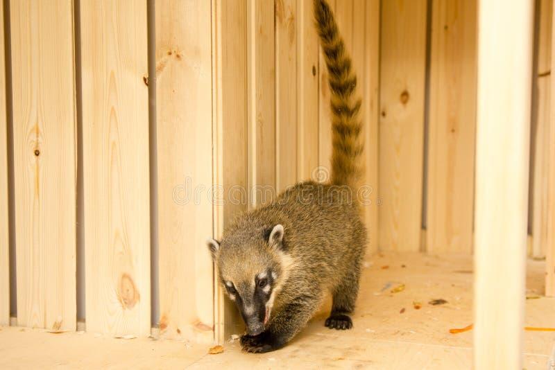 Sul - nasua americano do Nasua do coati, igualmente conhecido como o coati anel-atado fotografia de stock