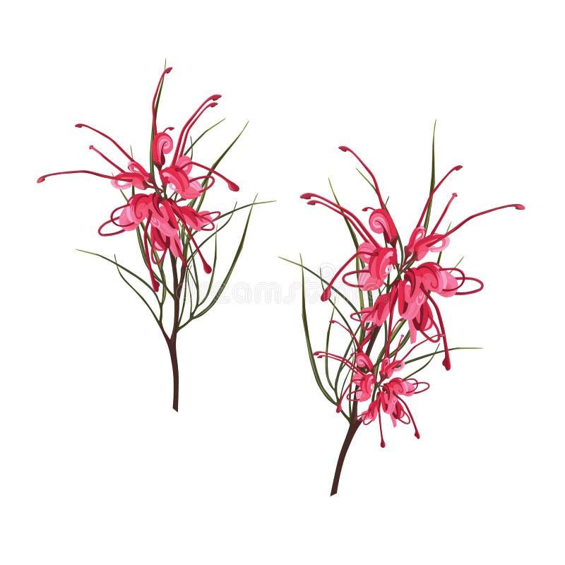 Sul nativo - flores africanas - Protea vermelho tropical exótico com as folhas do verde isoladas no fundo branco ilustração stock