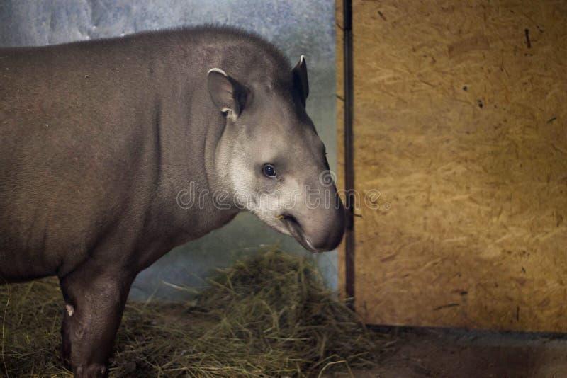 Sul - terrestris americanos do Tapirus do tapir fotografia de stock