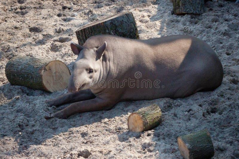 Sul - terrestris americanos do Tapirus do tapir foto de stock royalty free