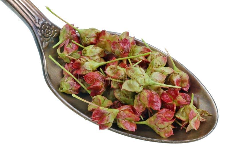 Sul vecchio cucchiaio dorato c'è una dose del prodotto medicinale naturale - piccoli semi verdi rossi del cespuglio di euonymus d fotografia stock libera da diritti