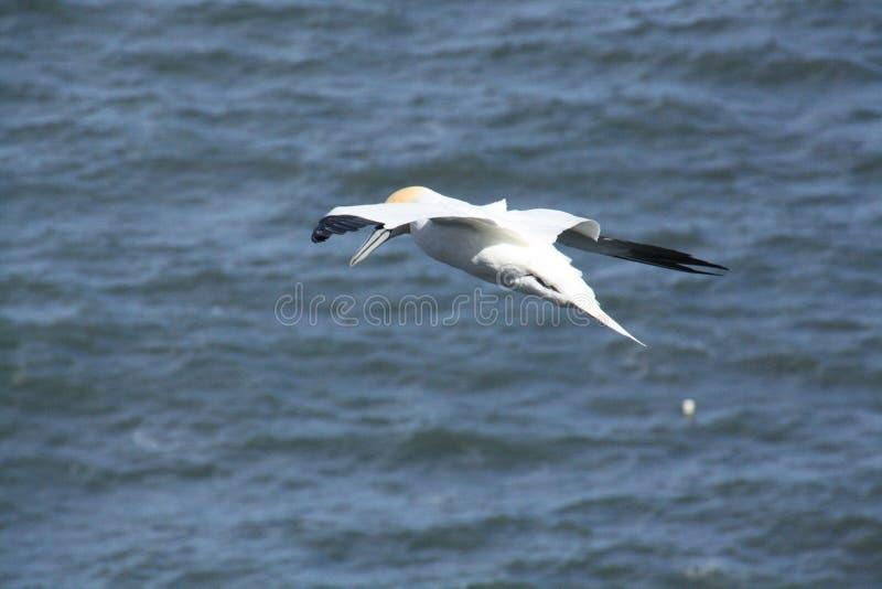 Sula che circonda sopra il Mare del Nord fotografie stock libere da diritti